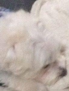 眠たいシュガー