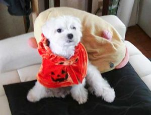 ハロウィン仮装したマルチーズシュガー