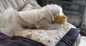 マルチーズシュガーの着る毛布