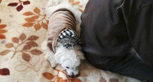 じーじの横で寝るシュガー