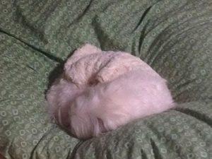 寝るマルチーズシュガー