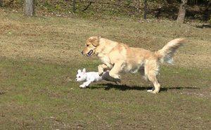 走るハッピーとちっちゃいシュガー