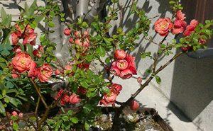 庭もボケの花