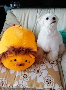 どでかいライオンちゃんとマルチーズのシュガー