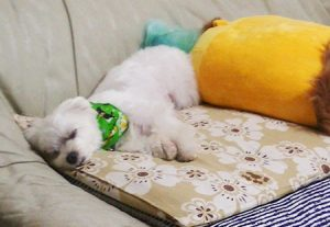 寝るシュガー