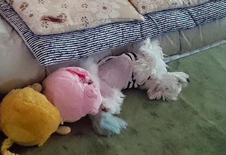 シュガーのお尻にくっついた豚ちゃんとライオンちゃん