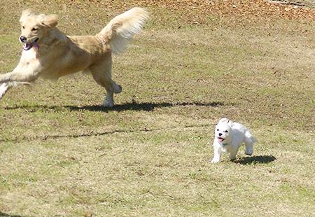 ハッピーとシュガーの小さい頃走っている